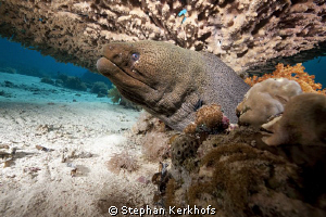 Giant Moray taken under a huge table coral at Yolanda Reef. by Stephan Kerkhofs