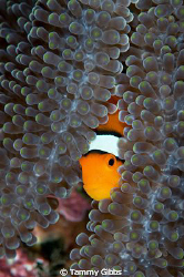 Nemo on the USAT Liberty wreck. by Tammy Gibbs