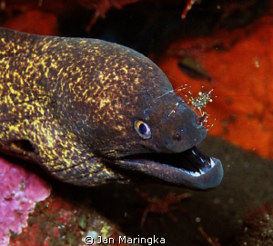 Moray Eel,cleaned by cleaner shrimp by Jan Maringka