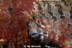 Blenny from Yassi Island. Taken with Nikon D80, Sea&Sea Y... by Alp Baranok