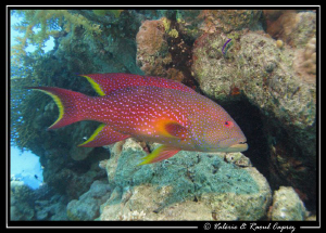 Variola louti taken with a Canon G9 and a single Ikelite ... by Raoul Caprez