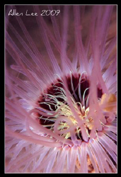 Tube anemone.Nikon F100,60mm,f11,1/180,YS-120,RVP100. by Allen Lee