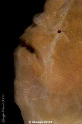 SalmonFroggy by Giuseppe Piccioli