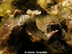 Nembrotha lineolata. Taken at Kirby's Rock Anilao Batanga... by Donny Zarsadias