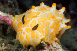 Gold Spotted Halgerda nudibranch in the rubble near Kwato... by Erin Quigley