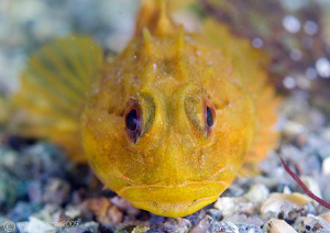 Long-spined scorpion fish. Aughrusmore Pier. D3 60mm. by Mark Thomas
