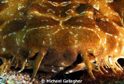 Wobbegong shark portrait taken at Julian Rocks, Byron Bay... by Michael Gallagher
