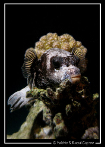 Picture of an Arothron taken during a night dive in Sharm... by Raoul Caprez