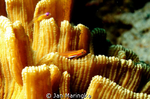 blenny on hard coral by Jan Maringka