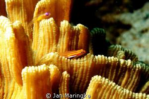 blenny on hard coral by Jan Maringka