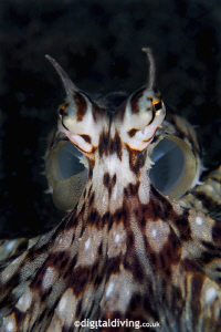 """Mami"" - Portrait image of Mimic Octopus by David Henshaw"