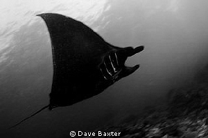 manta @ manta point Bali by Dave Baxter