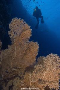 One of the georgeus fan corals at Elpinstone Reef by Morten Bjorn Larsen