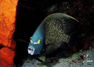 This image of a French Angelfish was taken during a dive ... by Steven Anderson