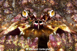 Box crab portrait, taken at night at Cocos Island by Michael Gallagher