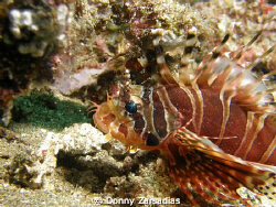 Lionfish Taken at Anilao Batangas Philippines. Lionfish k... by Donny Zarsadias