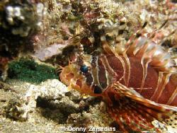 Lionfish Taken at Anilao Batangas Philippines. Lionfish k... by Donny Zarsadias