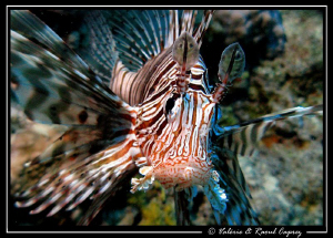 Pterois taken with a Canon G9, a single DS125 Ikelite str... by Raoul Caprez