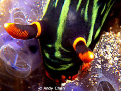 Nembrotha Kubaryana on G9