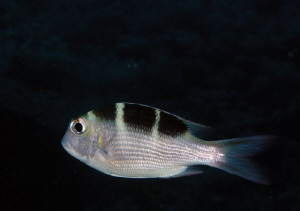 Taken on a night dive in the Red Sea. by Carol Cox