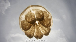 I shot this picture in Jelly Fish lake in Palau by Tony Anderson