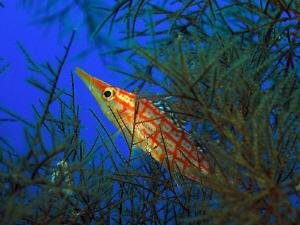 Poisson faucon dans un corail noir.... by Sylvain Kuster