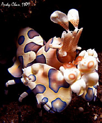 Harlequin Shrimp - Seraya Secret