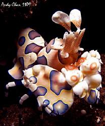 Harlequin Shrimp - Seraya Secret G9 + Inon UCL 165 + SB ... by Andy Chan