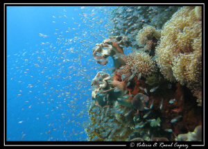 Glass fish and coral. 
