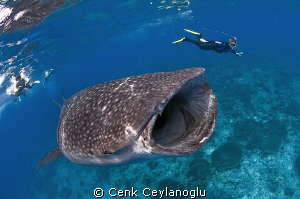 Whale Shark in South Ari atoll by Cenk Ceylanoglu