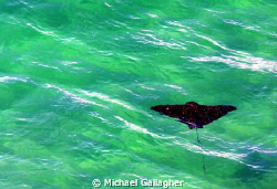 Spotted eagle ray in the shallows at Byron Bay, NSW, Aust... by Michael Gallagher