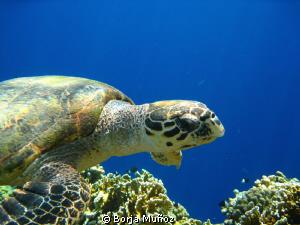 snorkeling with turtles by Borja Muñoz