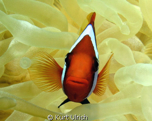 Clown Anenome fish on the bow of the Fujikawa Maru in Chuuk by Kurt Ulrich
