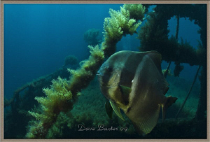 resident batfish atop the Lena purpose sunk wreck by Dave Baxter