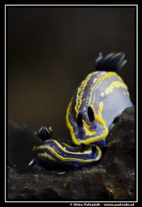 couple of Hypselodoris tricolors have fun by Miro Polensek