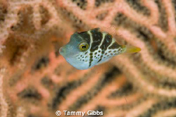 A teeny tiny saddled toby hiding amongst a gorgonian fan.... by Tammy Gibbs
