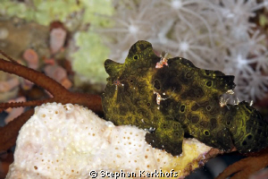 This little frogfish (5cm) was hard to find and even more... by Stephan Kerkhofs