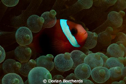 Black and Red Anemone Fish in Green Anemone by Dorian Borcherds