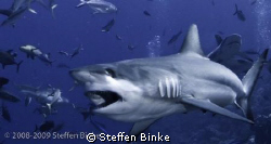 Grey Reef Shark by Steffen Binke
