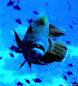 Napoleon fish by Veronika Matějková