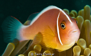 clown fish, shot with d200/subal housing twin inons 60mm ... by Terry Dunbar