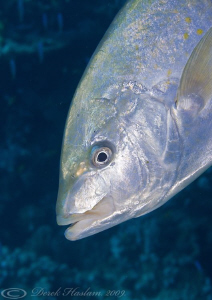 Gold-spotted Trevally. D3, 105mm. by Derek Haslam