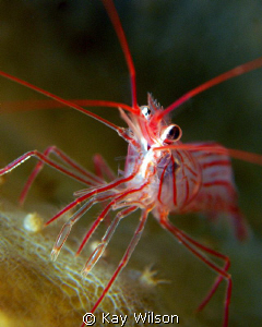 Peppermint Shrimp.  Sea and Sea DX1G with stacking diopt... by Kay Wilson