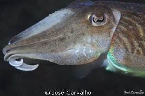 Cuttlefish - Nikon D90, Hugyfot housing, nikkor 105mm, 1/... by José Carvalho
