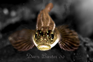 blenny by Dave Baxter