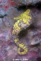 Seahorse shot with a Nikonos RS and 50 mm macro and on Ik... by Alan G. Miller