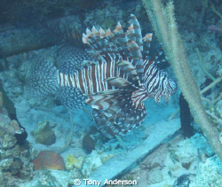 Lionfish by Tony Anderson
