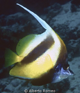 "Portrait of a Bannerfish  ""Heniochus intermedius"" by Alberto Romeo"