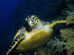 Hawksbill turtle - Big Brother Island by James Dawson