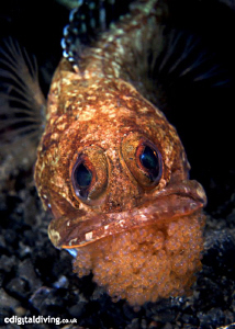 Egg Cup (Opistognathus latitabundus) Blotched Jawfish wit... by David Henshaw